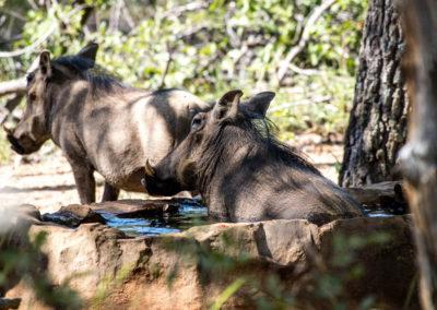 29-warthogs-bathing