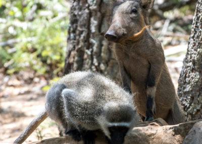 30-monkey-warthog-playmates